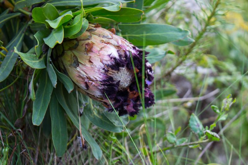 Sugarbush Protea in the Marloth Nature Reserve