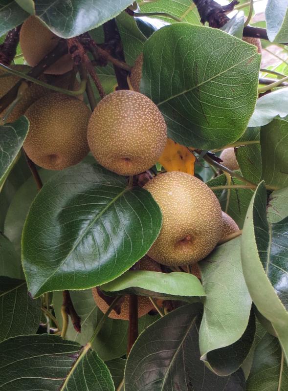 Unknown fruit tree in Graaff Reinet