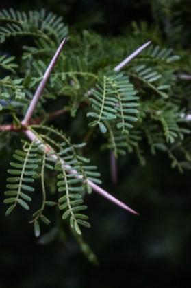 Acacia in Graaff Reinet