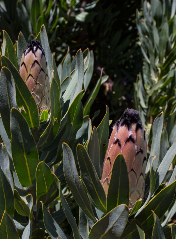 Sugarbush proteas at La Motte