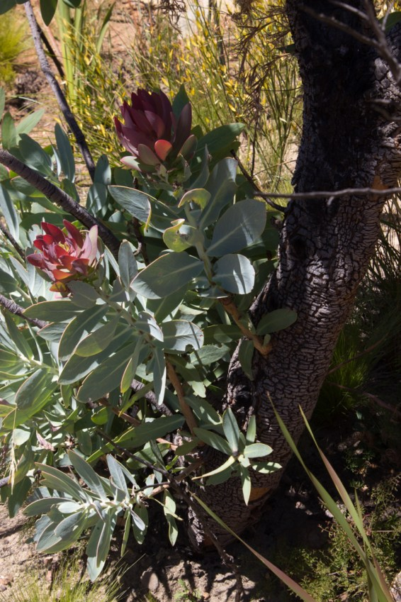 Proteas regrowing after a fire