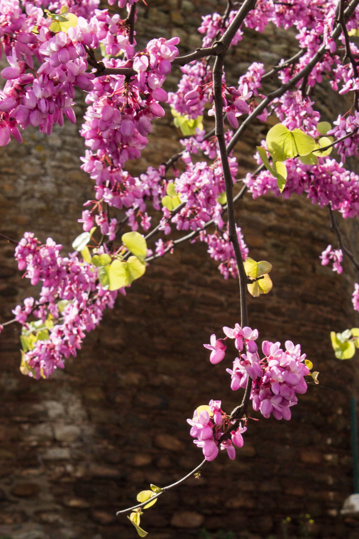 Cercis flowering in Alandroal