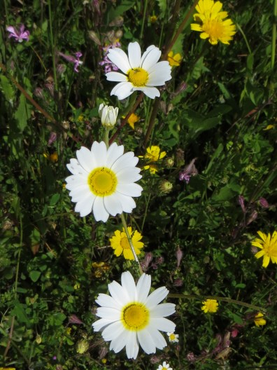 White & yellow daisies at Montalvao