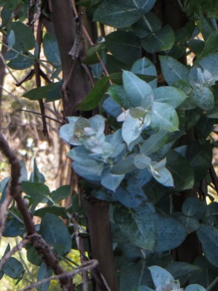 New eucalyptus leaves