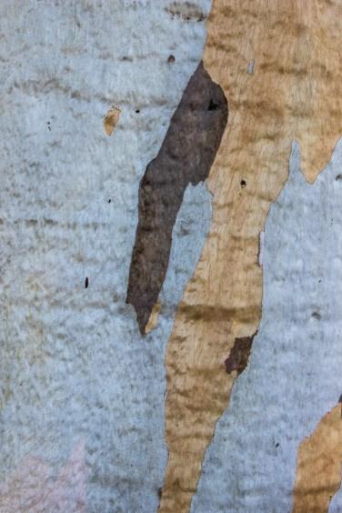 The eucalyptus tree