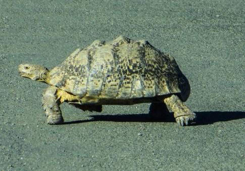 Tortoise in the Karoo National Park