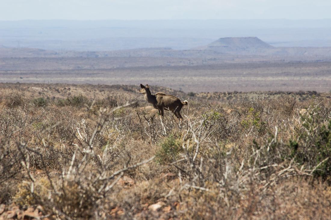 Kudu in the Karoo National Park