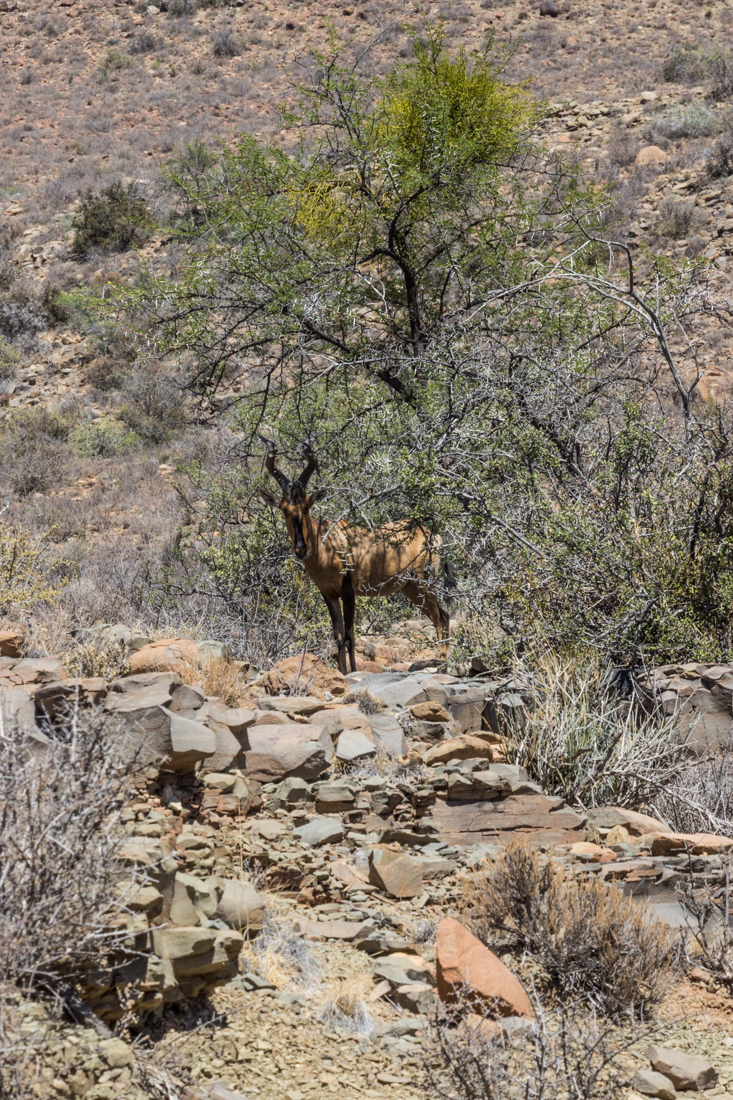 Red hartebeest under a tree in the Karoo National Park