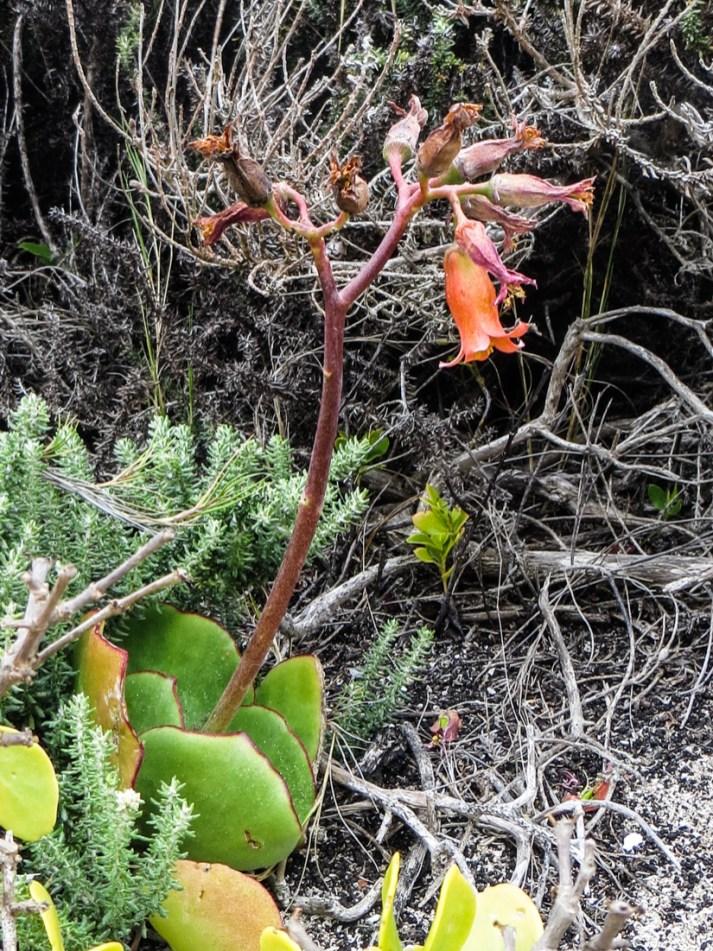 Indigenous vegetation at Schoenmakerskop