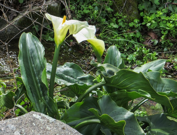 Arum Lilies at Carreiras in 2018