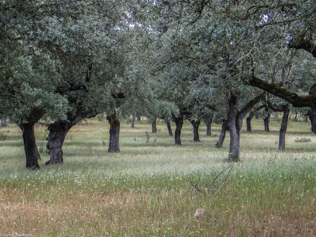Old olive trees along the PR1 MFT