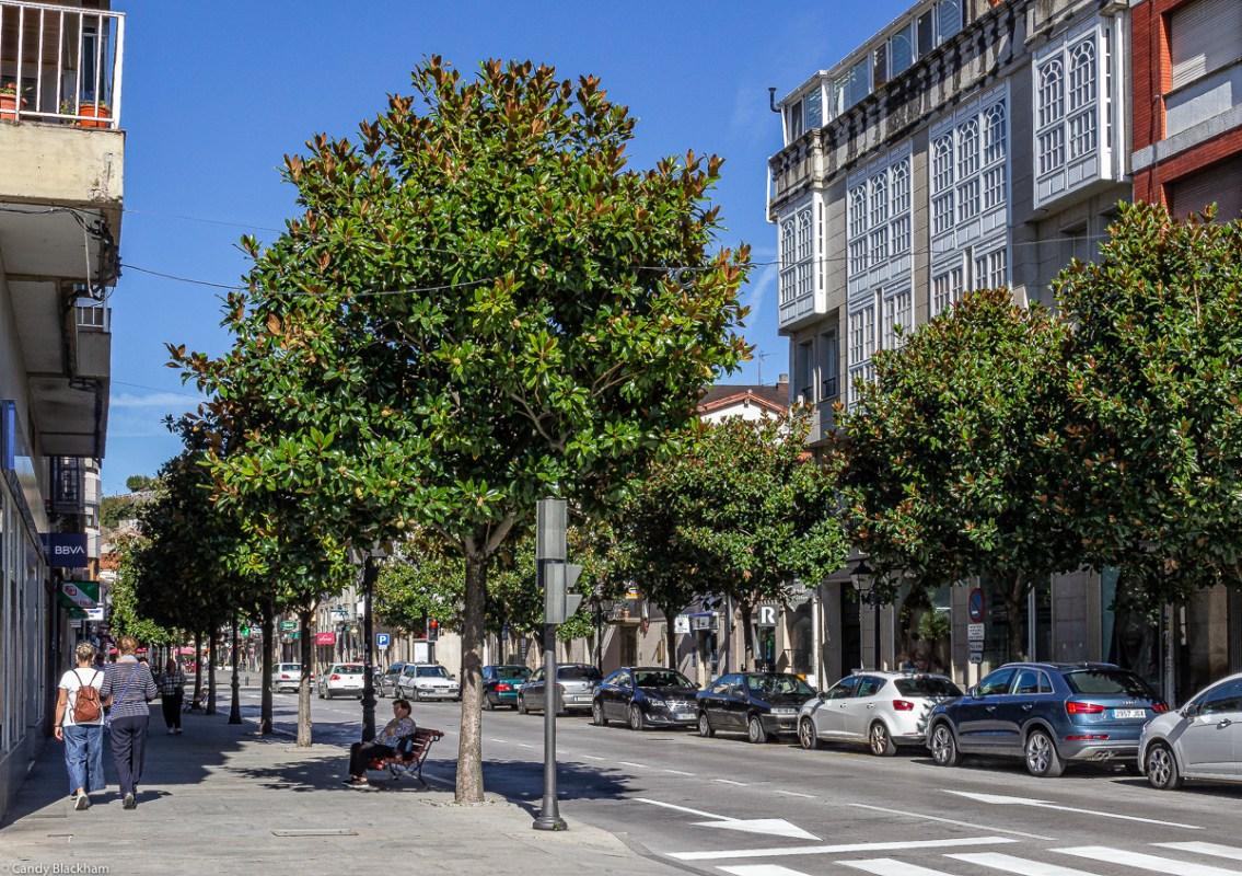 Magnolia trees in Monforte