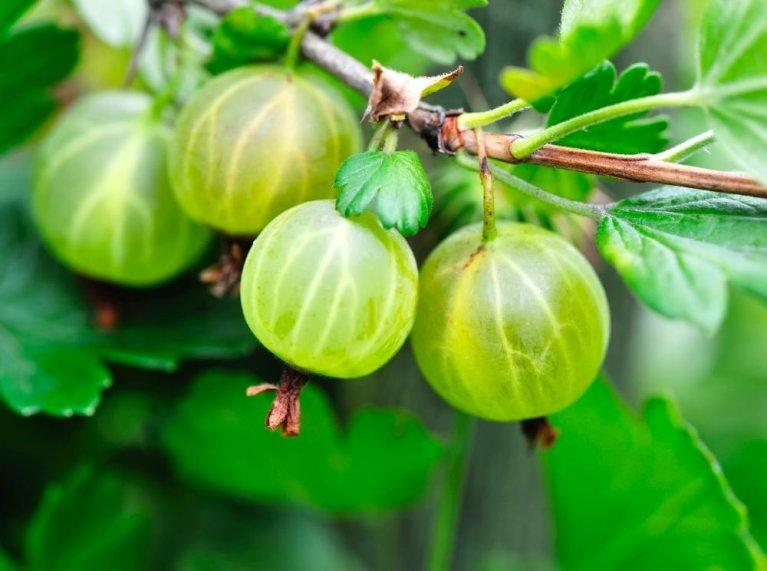 vino di uva spina