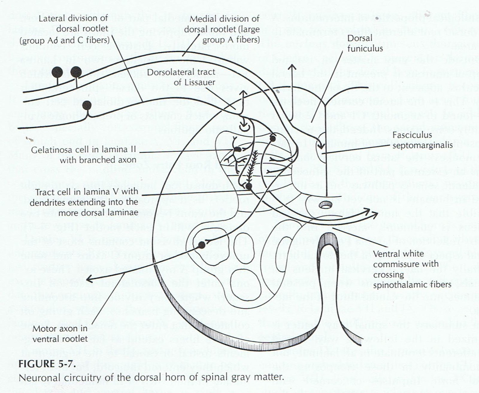 Spinal cord and spinal nerve distribution