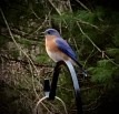 Early bluebird