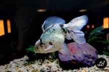 Gold Fish - Ocena Park