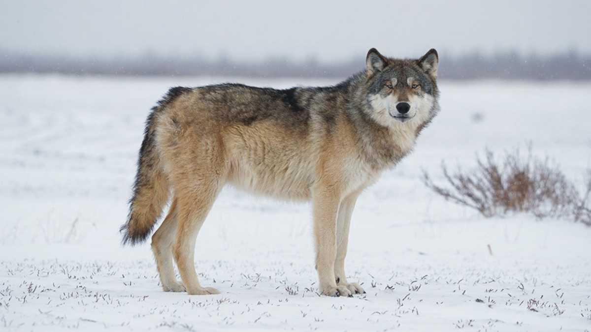 animal spirit wolf