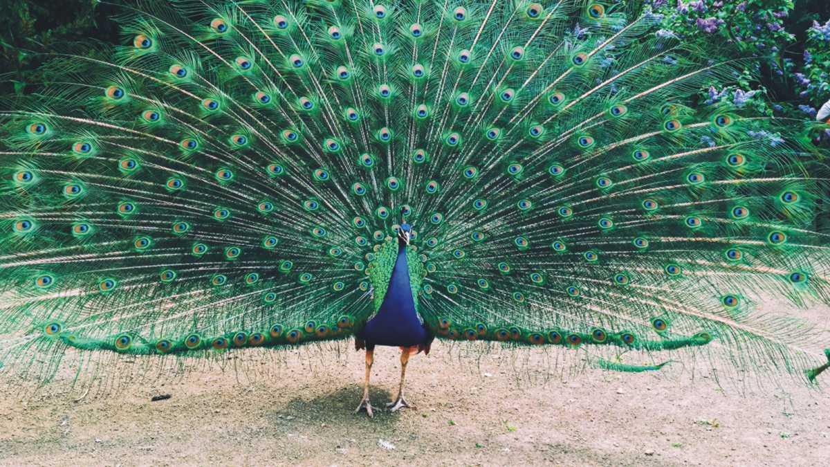 animal spirit peacock - peacock spirit animal