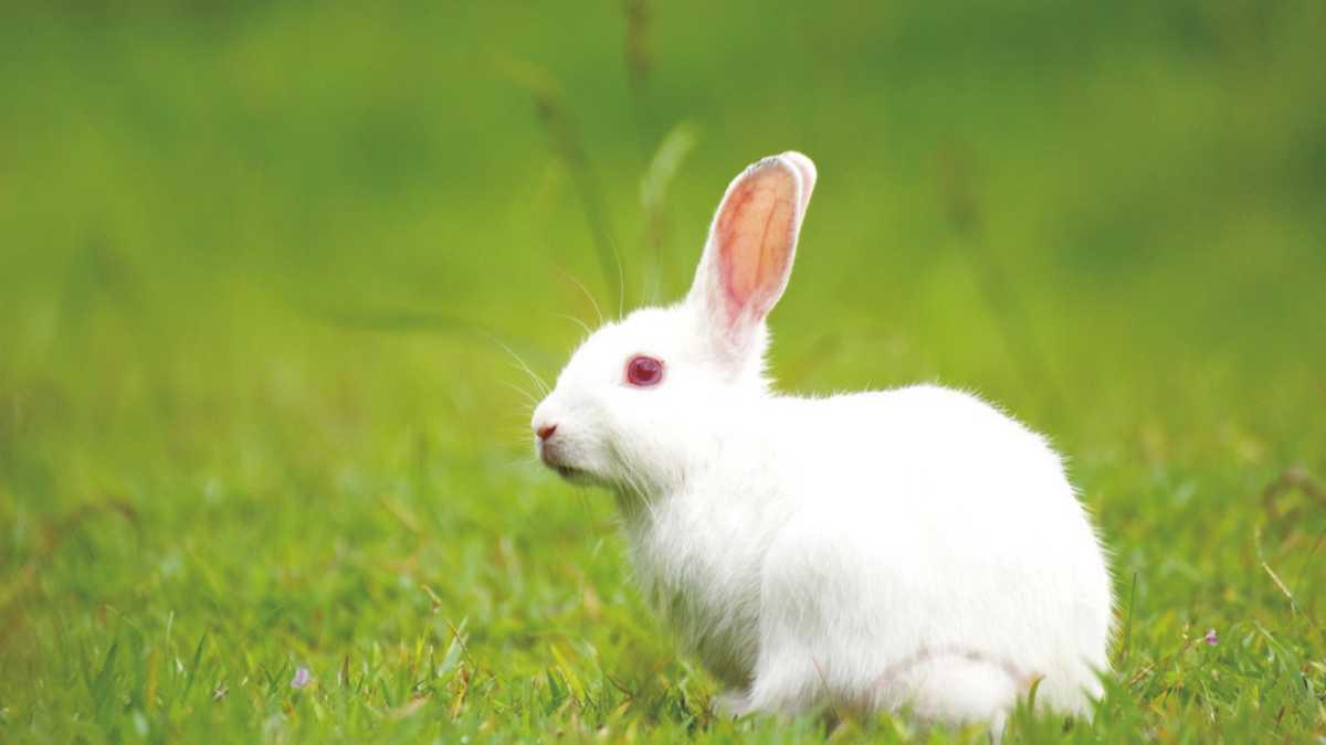 Animal Spirit Rabbit -- Rabbit Spirit Animal