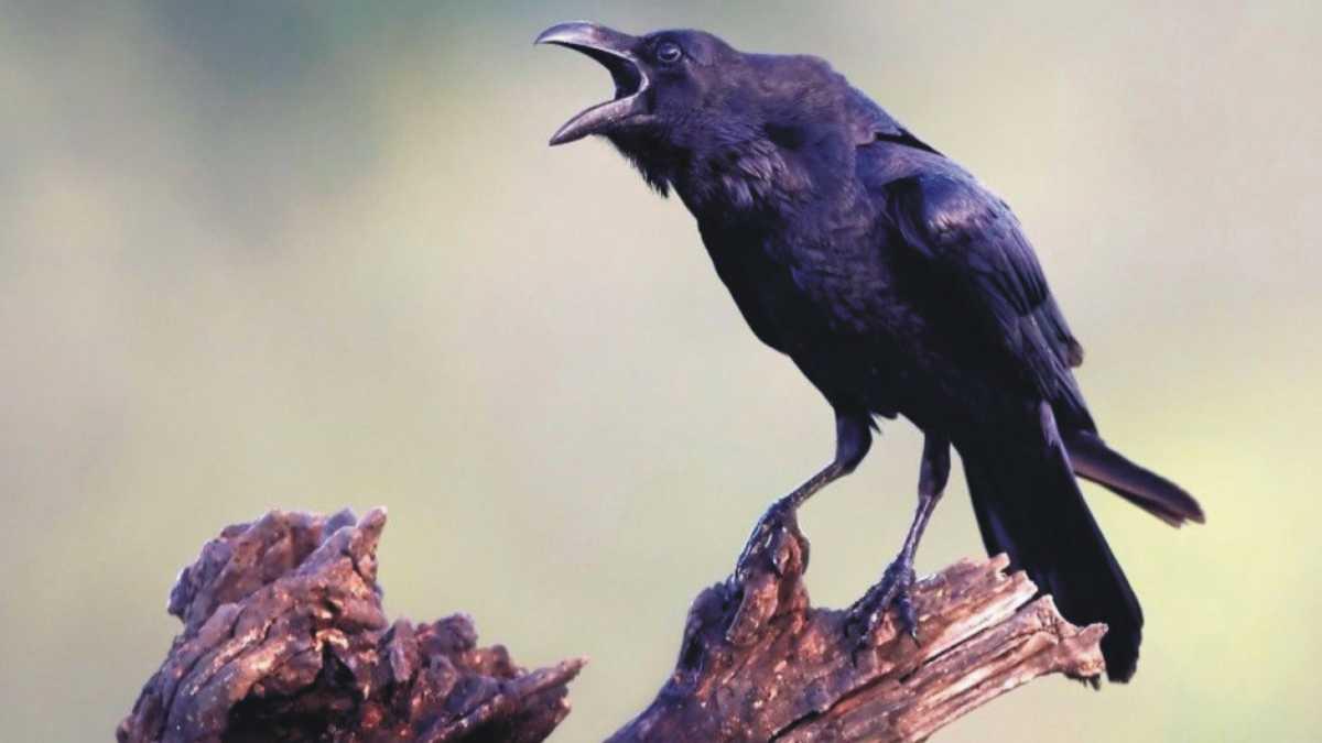 animal spirit raven -- raven spirit animal