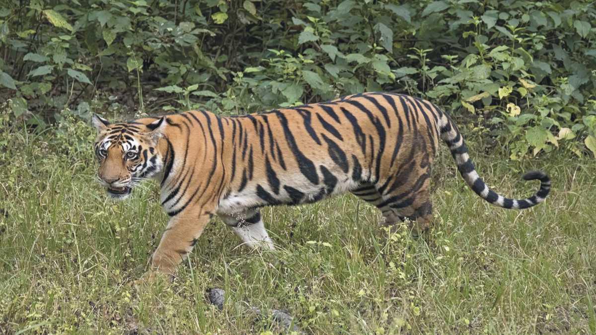 animal spirit tiger -- Tiger Spirit Animal Meaning