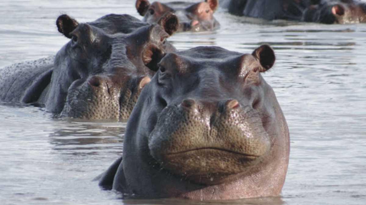 Interesting Facts About Hippopotamus