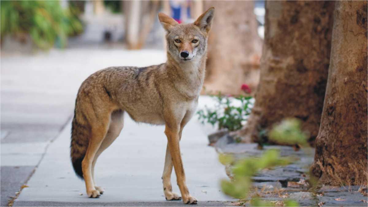 animal spirit coyoto -- coyote spirit animal meaning