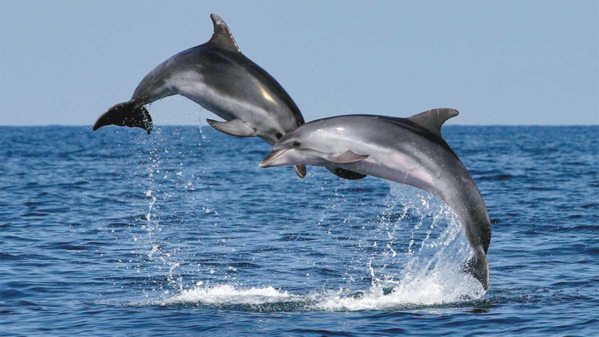 dolphin spirit animal -- animal spirit dolphin