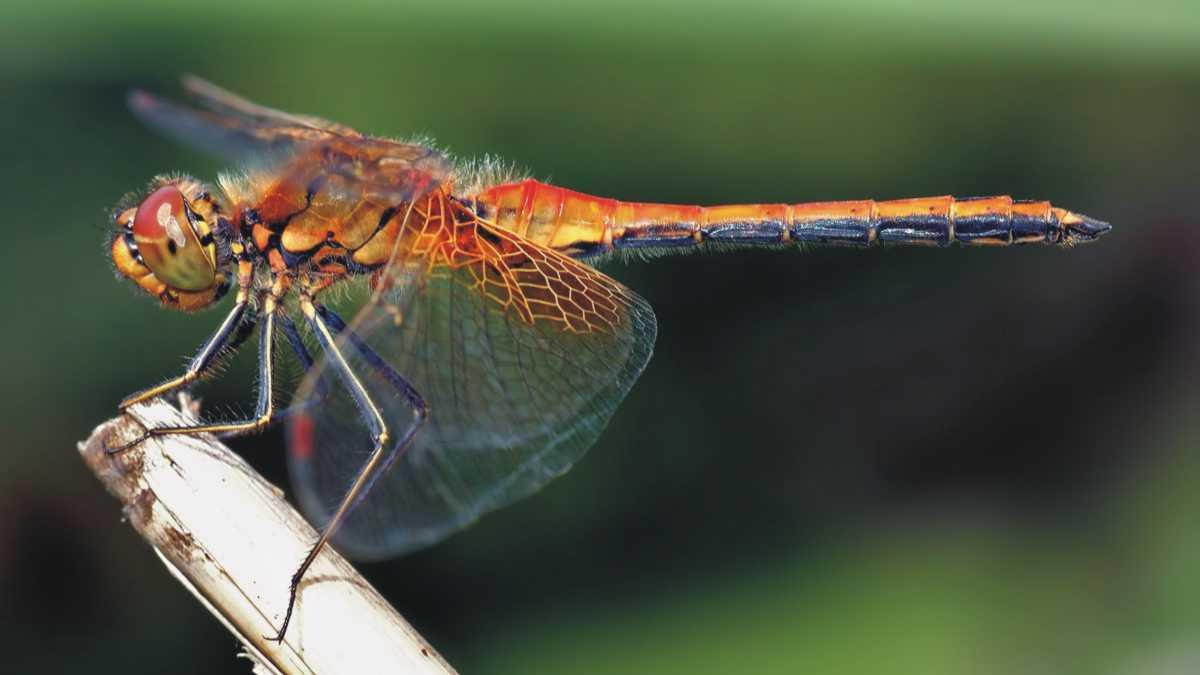 dragonfly spirit animal - animal spirit dragonfly animal spirit odonata