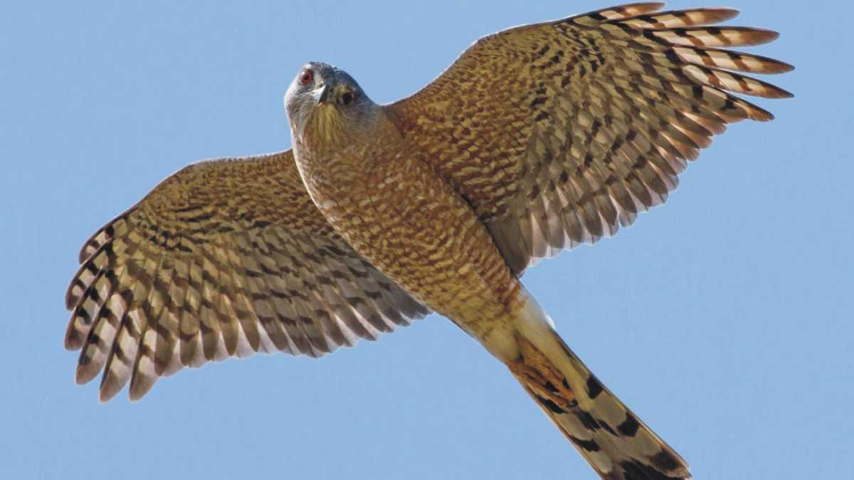 animal spirit hawk - Hawk Spirit Animal Meaning