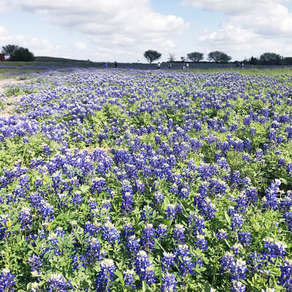 Where to take blue bonnet pictures outside of Houston, Texas.