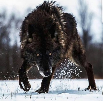 Lone wolf Breathes