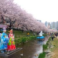 CHERRY BLOSSOMS 2015 - ULSAN, SOUTH KOREA