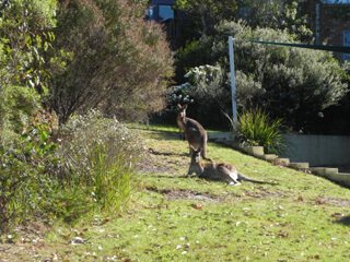 Long Beach Kangaroos clifftop garden at Long Beach Clifftop Retreat