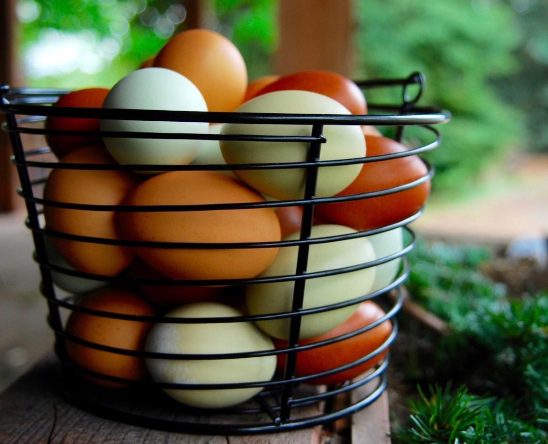 feeding egshells to chickens