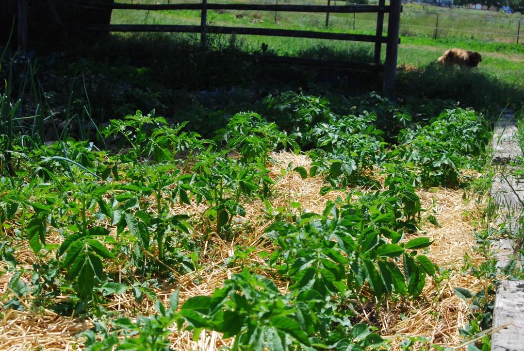 Potato plants!