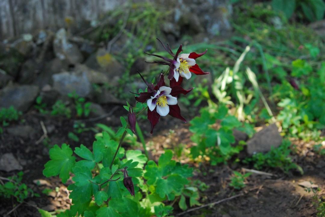 Columbine Flower.