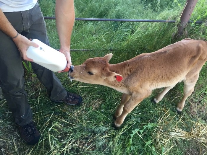 Calf eating out of a calf bottle.
