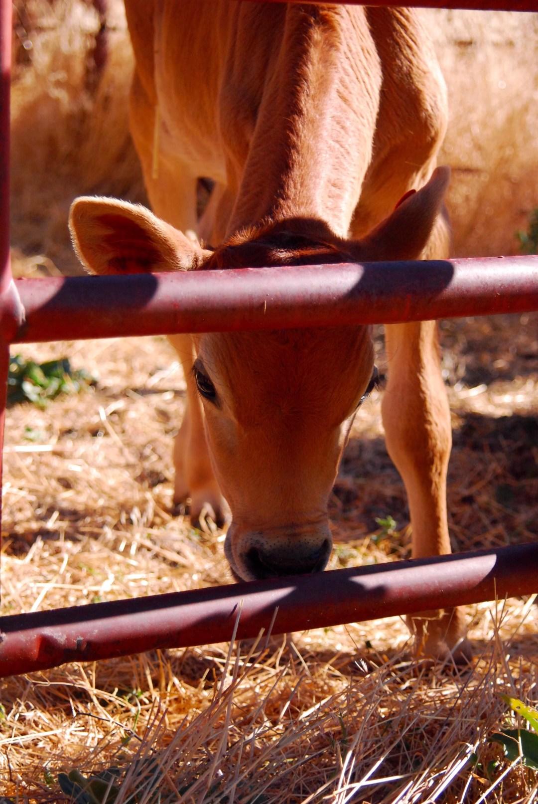 How to bucket train a calf