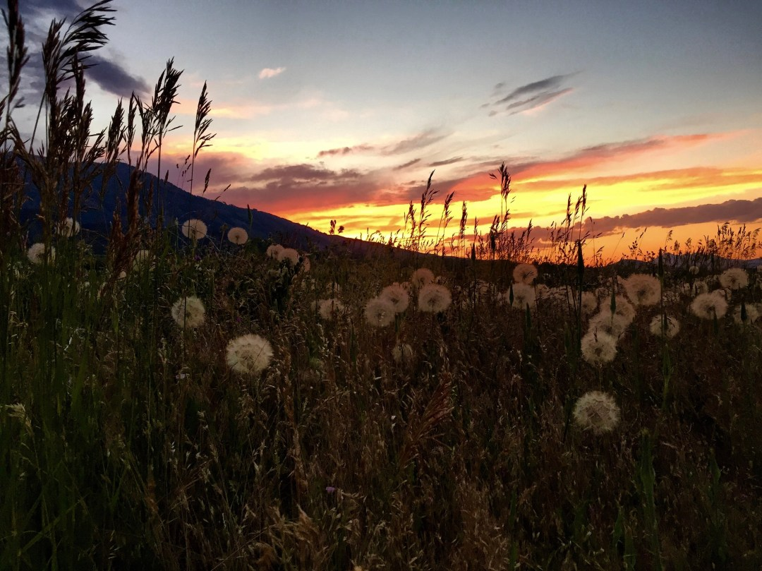 Sunset and dandilions