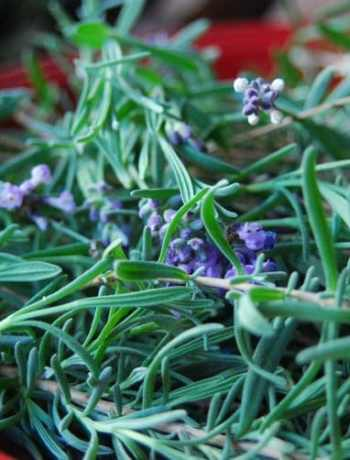 Close-up of freshly picked lavender on a red plate.