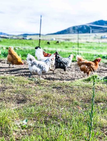 Raising chickens for eggs, a flock of chickens pecking the ground in a pasture.