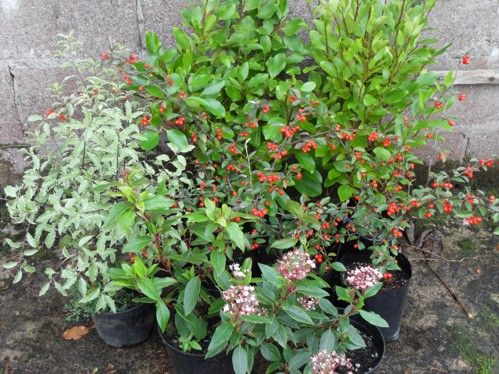 Group shrubs 2