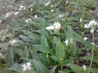 Edible white flowers.