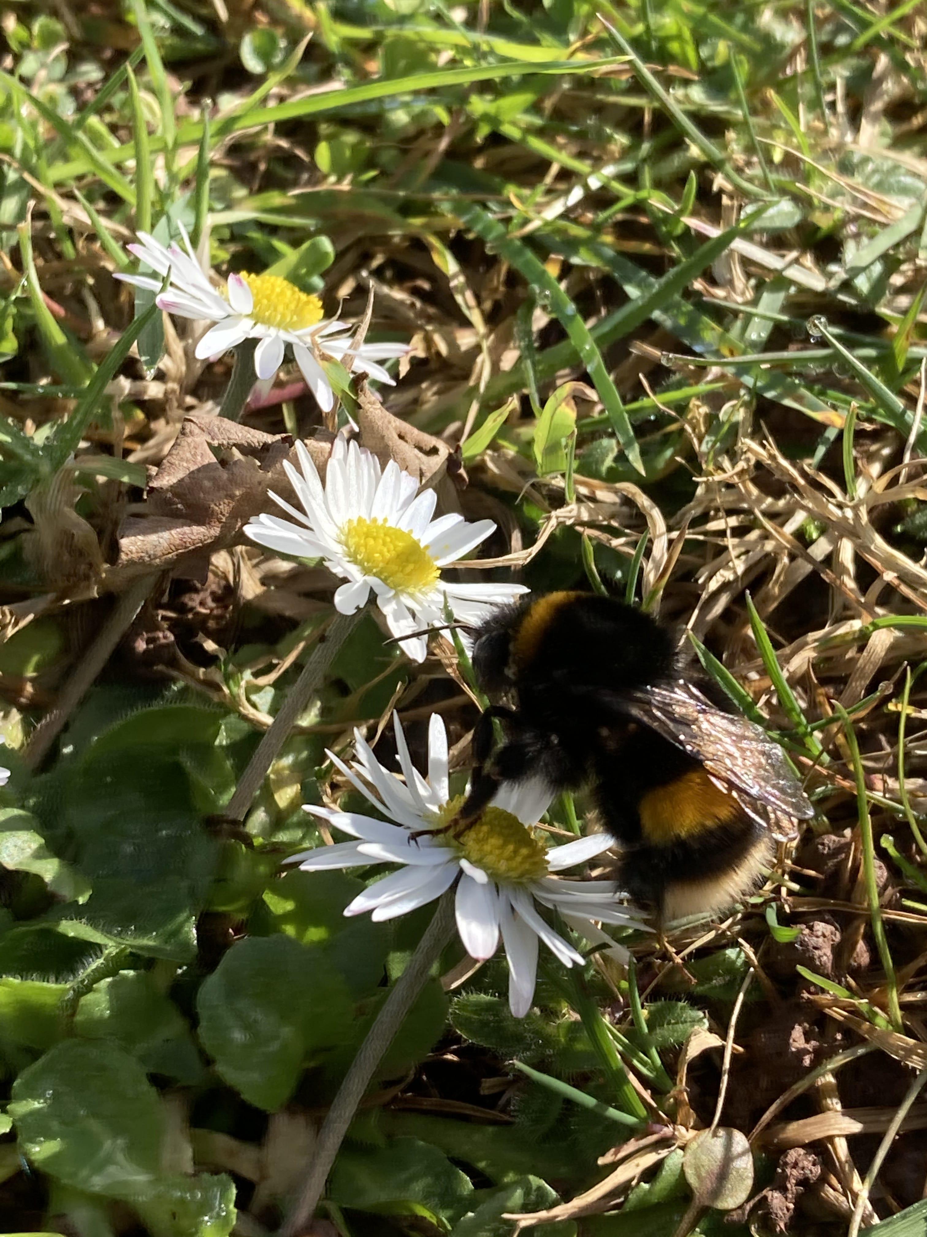 Wild bee on flowers