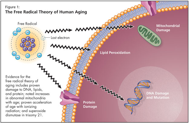 Mitochondrial Free Radical Theory of Aging.