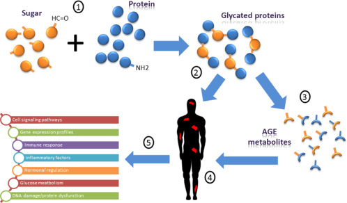 How advanced glycation end-products (AGEs) form.