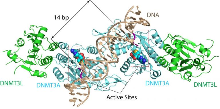 Structure of DNMT3A-DNA.