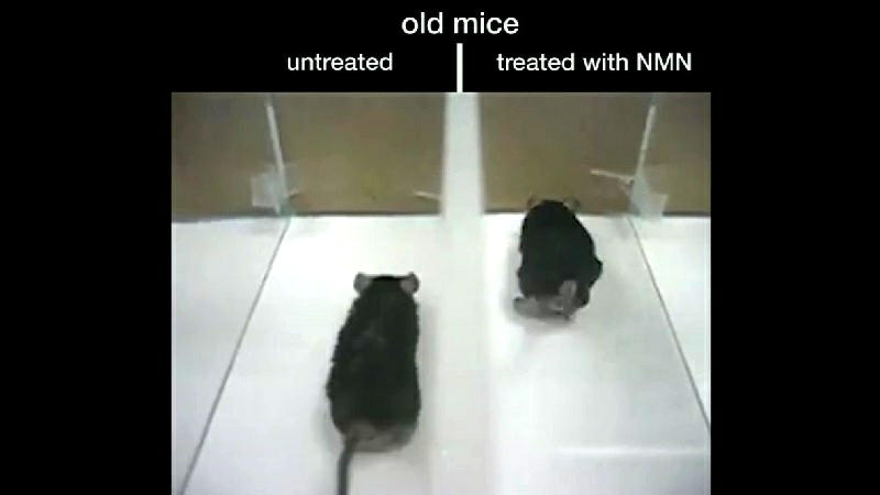 Mice treated with NAD booster NMN outperform untreated ones according to Dr. David Sinclair