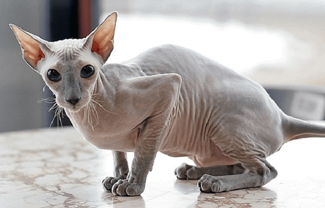 Kucing Peterbald